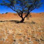 05 Namibia-dune albero