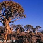 21 Namibia -foresta di aloe_