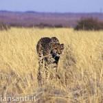 23 Namibia -ghepardo nella savana_