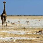 54 Namibia - parco etosha giraffe gazzelle