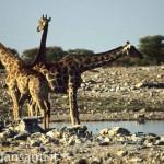 55 Namibia - parco etosha giraffe