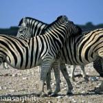 56 Namibia- parco etosha zebre