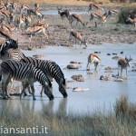 57 Namibia - parco etosha zebre e gazzelle